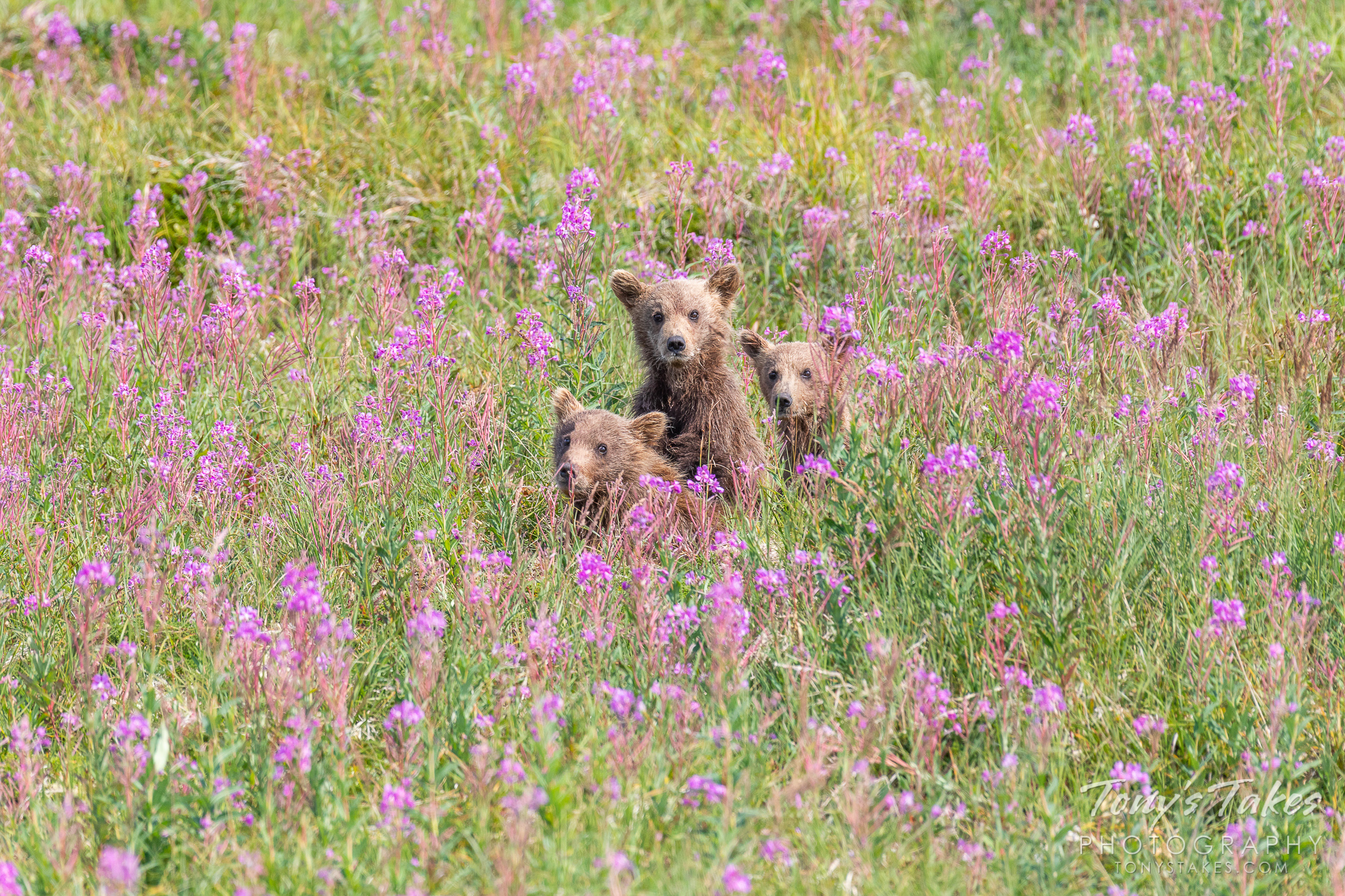Curious brown bear cubs peek out from the fireweed in Katmai National Park and Preserve. (© Tony's Takes)
