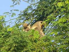 Green Velvet Monkey Family