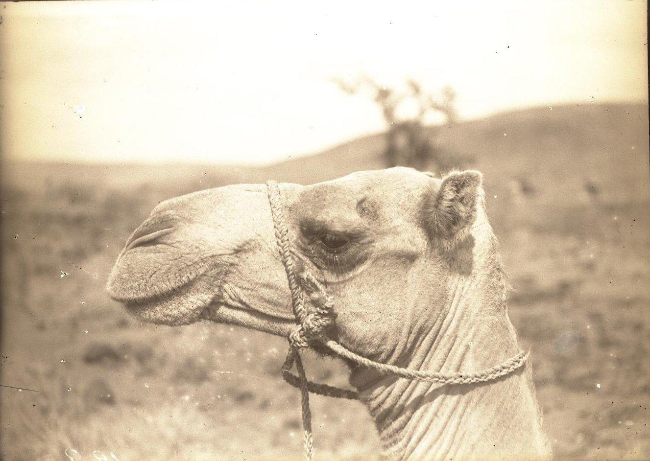 128. В сомалийской пустыне. Голова верблюда