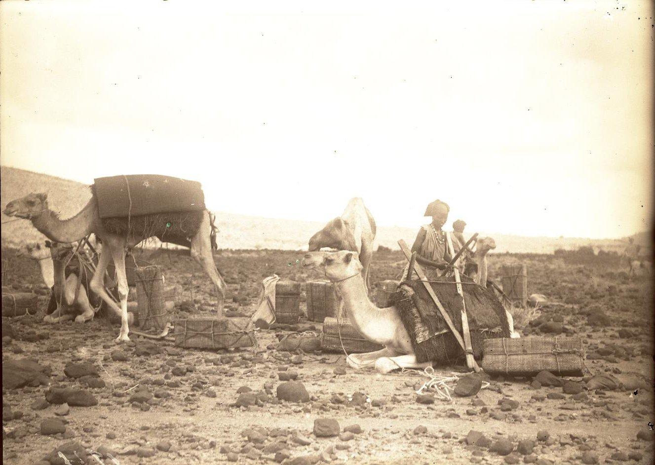 123. В сомалийской пустыне. Загрузка верлюдов
