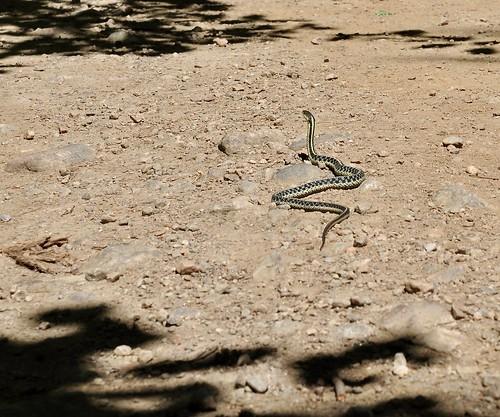 Garter snake!