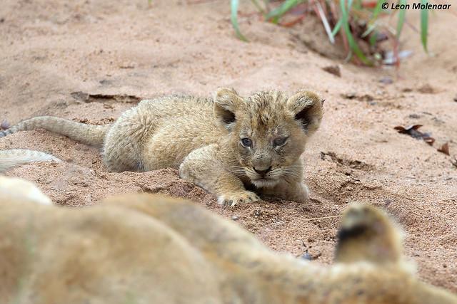 10 August - World Lion Day (ii)