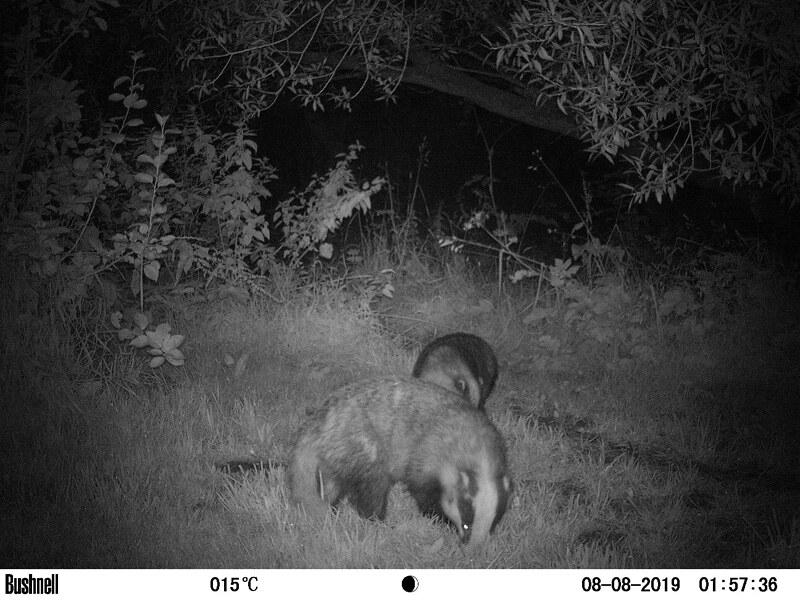 Badgers 1