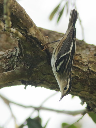 Black-and-White Warbler female 01-20190810
