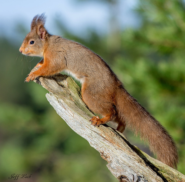 JWL8797  Red Squirrel....