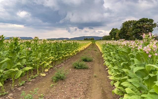 *Im Tabakfeld* - *In the tobacco field*