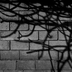 Frangipani shadow