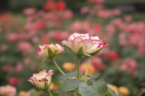 Rose -Jubile du Prince de Monaco-,Kyoto Botanical Gardens,Kyoto
