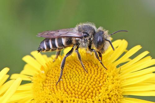 coelioxysinermis coelioxys coelioxyssp burtonmerewetlands bee