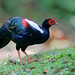 藍腹鷴 Taiwan Blue Pheasant (Male)
