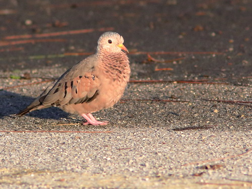 Common Ground-Dove 02-20190811