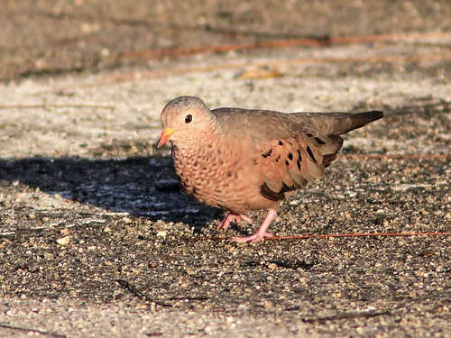 Common Ground-Dove 06-20190811
