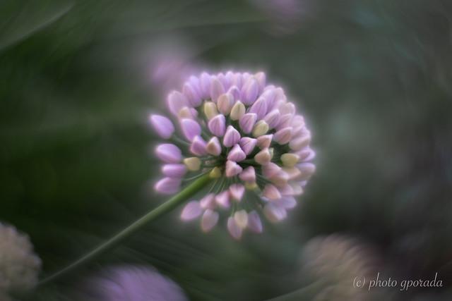 Allium Lusitanicum - Softness - Helios 44M4