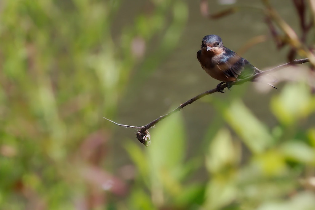 barn swallow1