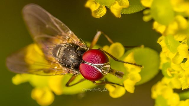Fannia sp fly (Muscidae)