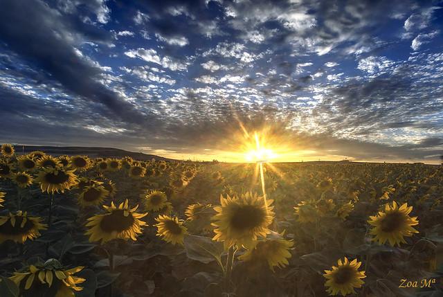 Girasoles al sol