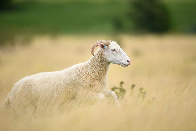 I am not a sheep, I lead my flock