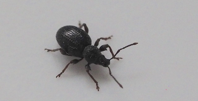 Tiny black Beetle.