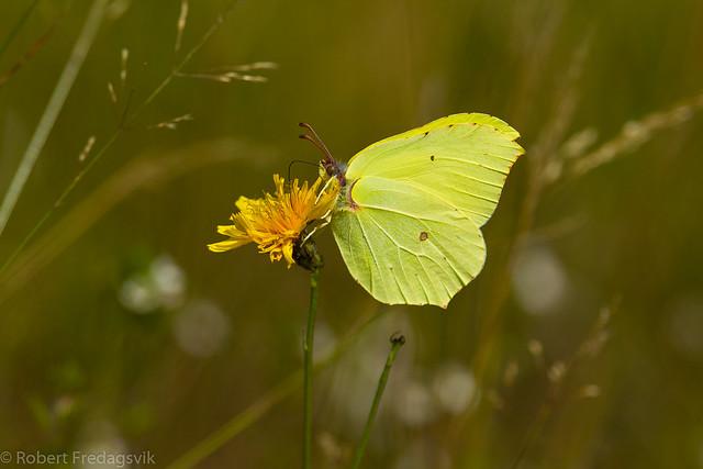Sitronsommerfugl - Common brimstone