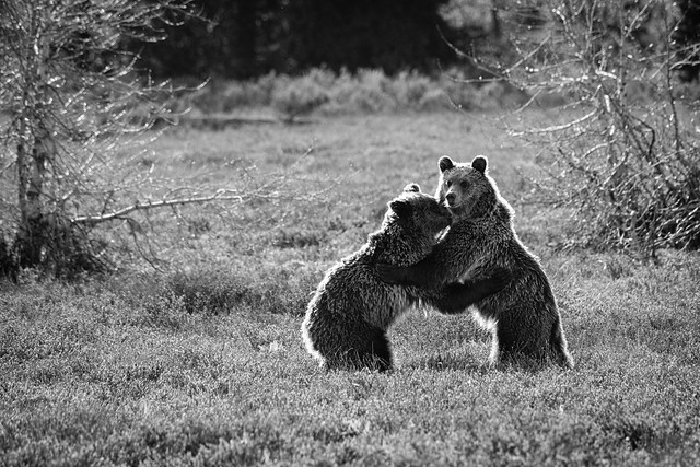 Grizzly Bears, Grand Teton National Park. May, 2019.