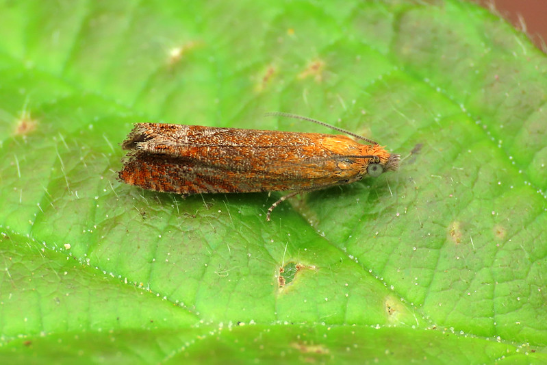 49.345 Red Piercer - Lathronympha strigana