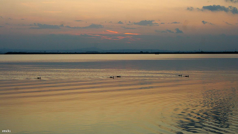 La Albufera Valenciana patos nadando