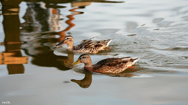 patos en la Albufera Valencia