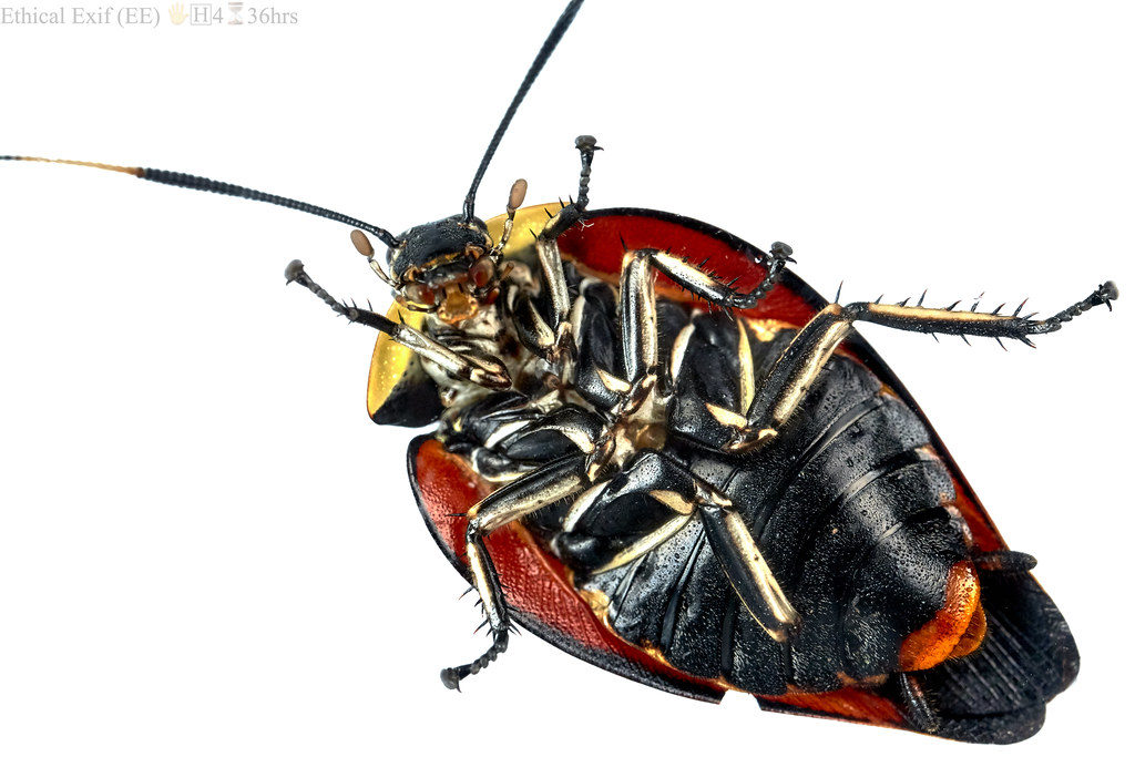 Tropical cockroach ventral view (Paratropes metae)