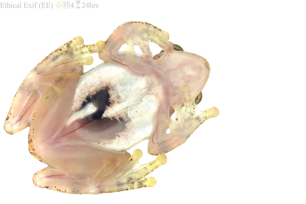 Translucent frog ventral view