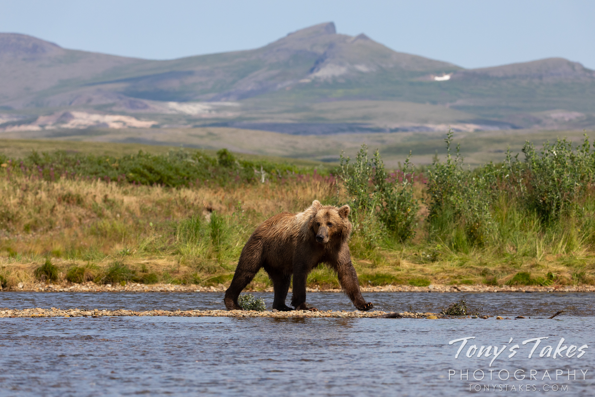 An Alaskan brown bear walks along the river in Katmai National Park and Preserve, Alaska. (© Tony's Takes)
