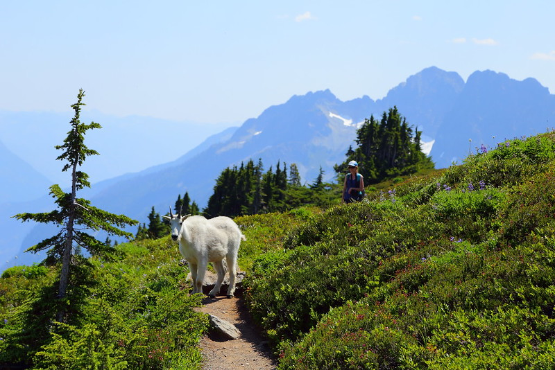 IMG_4172 Mountain Goat at Sahale Arm
