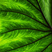 Light through leaf