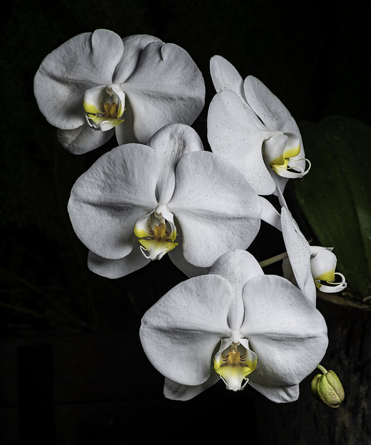 White Orchids With Yellow Highlights
