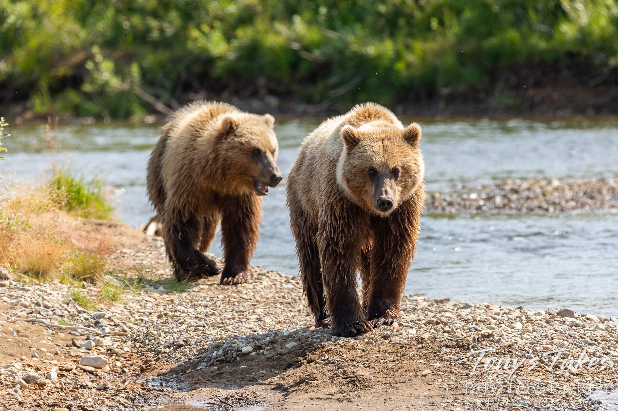 A pair of young brown bears in Katmai National Park and Preserve, Alaska. (© Tony's Takes)