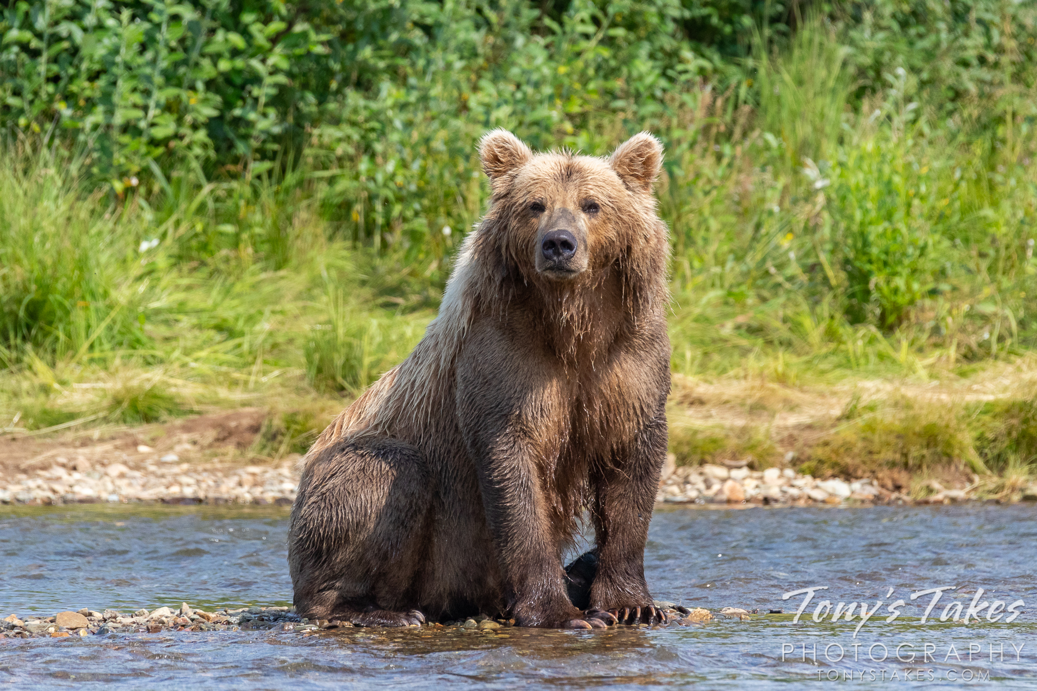 A brown bear hangs out on the river in Katmai National Park and Preserve. (© Tony's Takes)