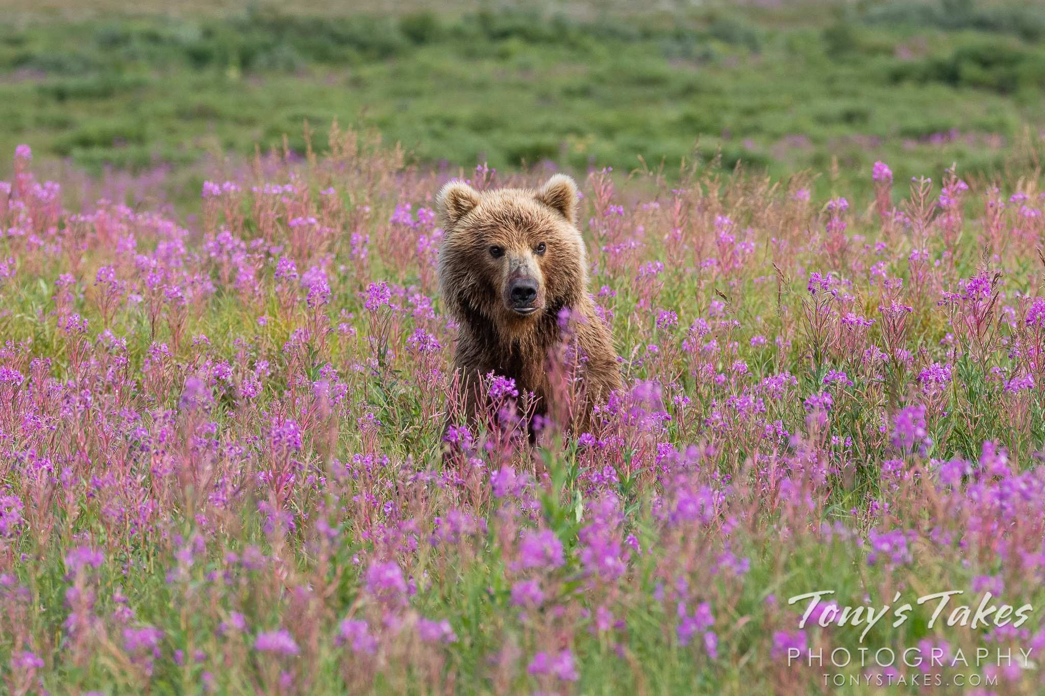 A brown bear sow sits up among fireweed in Katmai National Park and Preserve, Alaska. (© Tony's Takes)