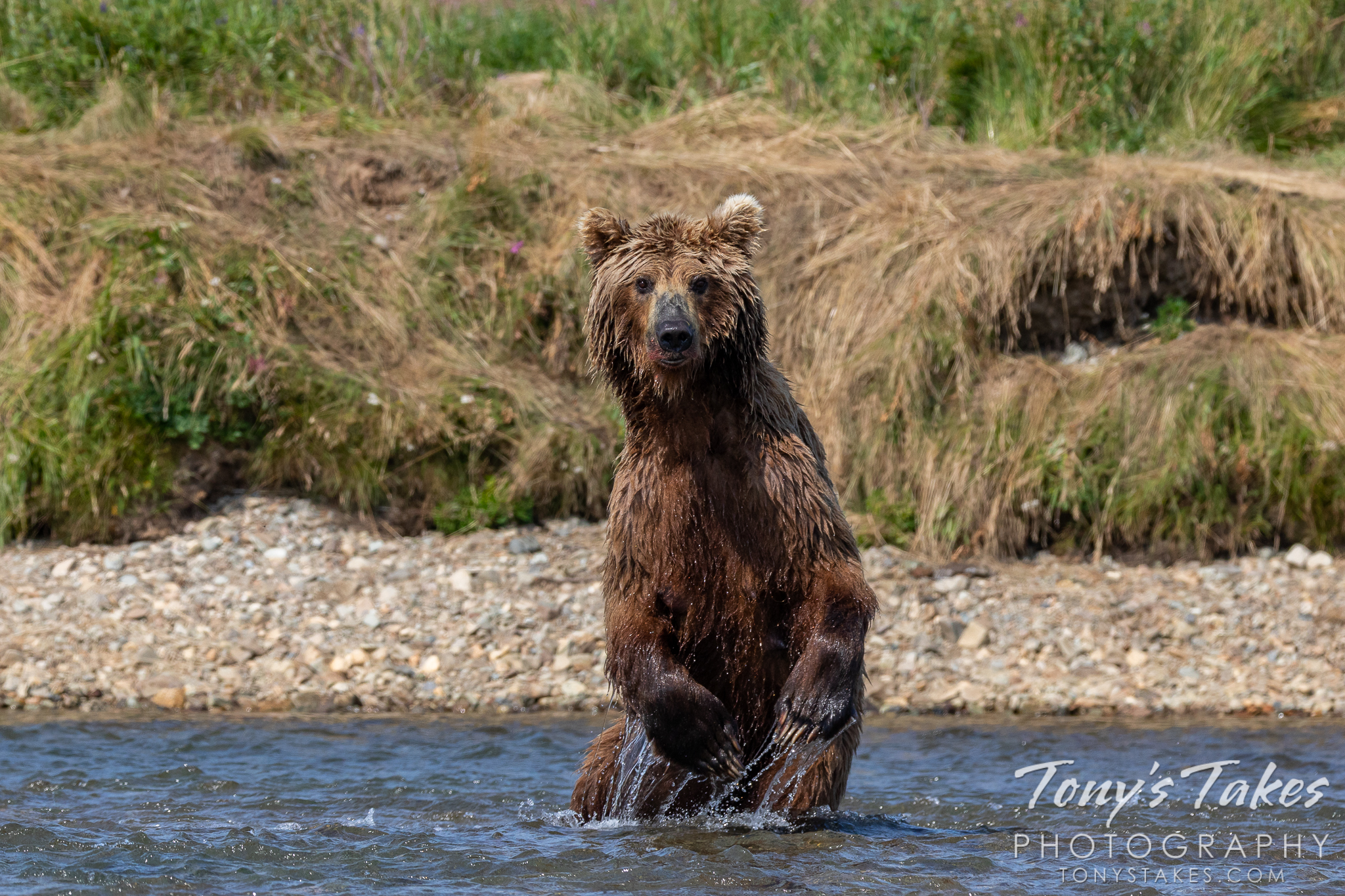 A brown bear stands tall in Moraine Creek on the lookout for salmon. (© Tony's Takes)