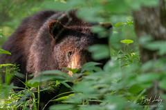 Bear In The Brush