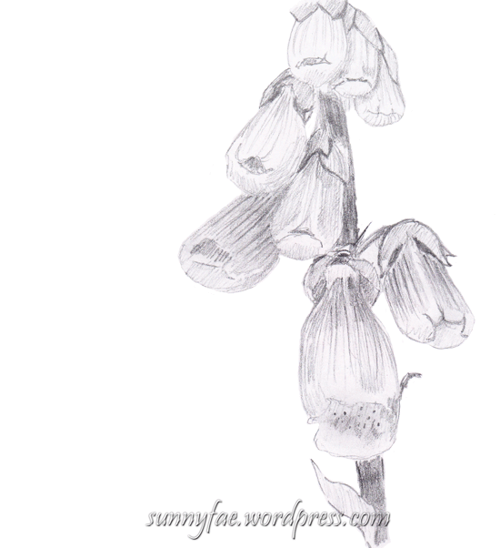 foxglove pencil drawing