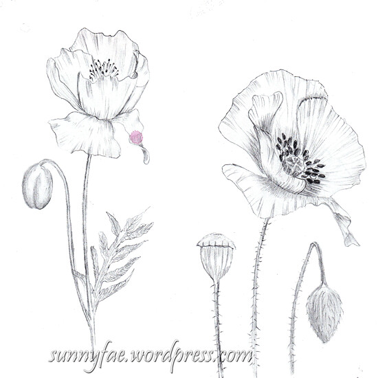 poppy pencil drawing