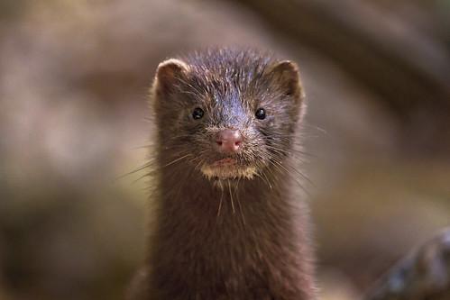 mink portrait ( explore )
