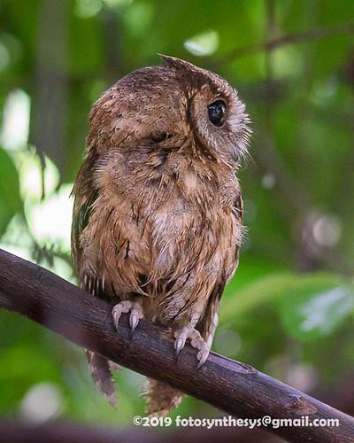 Indian Scops Owl (Otus bakkamoena bakkamoena) DSC_3050