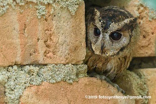Indian Scops Owl (Otus bakkamoena bakkamoena) DSC_3040