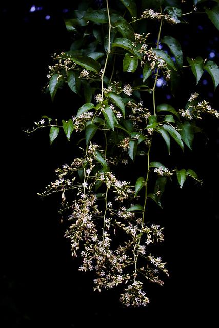 Brunnichia ovata, American buckwheat vine