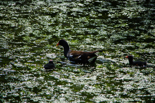 Moorhens with young young, Packhorse Bridge LNR