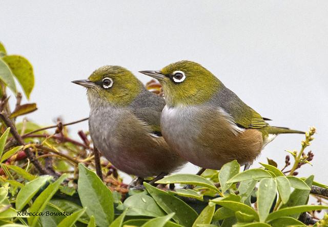Silvereyes or Waxeyes in my Garden