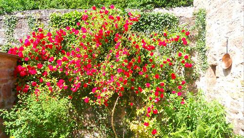 notre rosier en fleurs