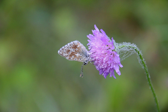 Common blue, with morning dew, sleeping upside down IMG_9423