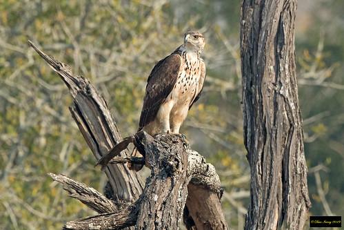 African Hawk Eagle (Aquila spilogaster)
