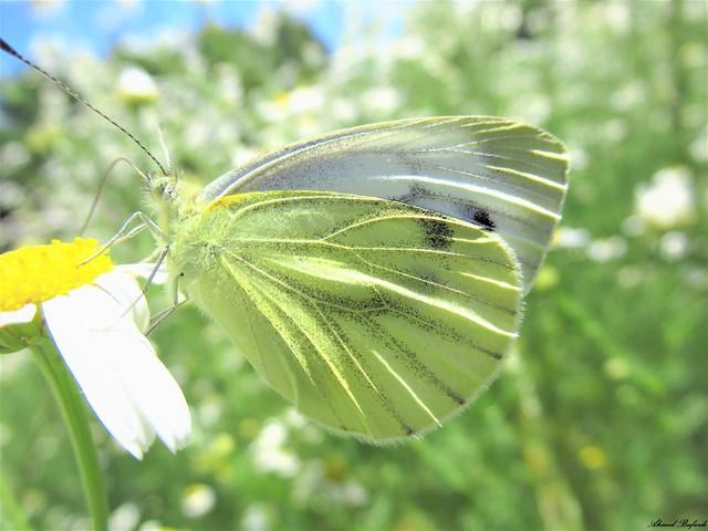 Butterfly 1839 (Pieris napi)